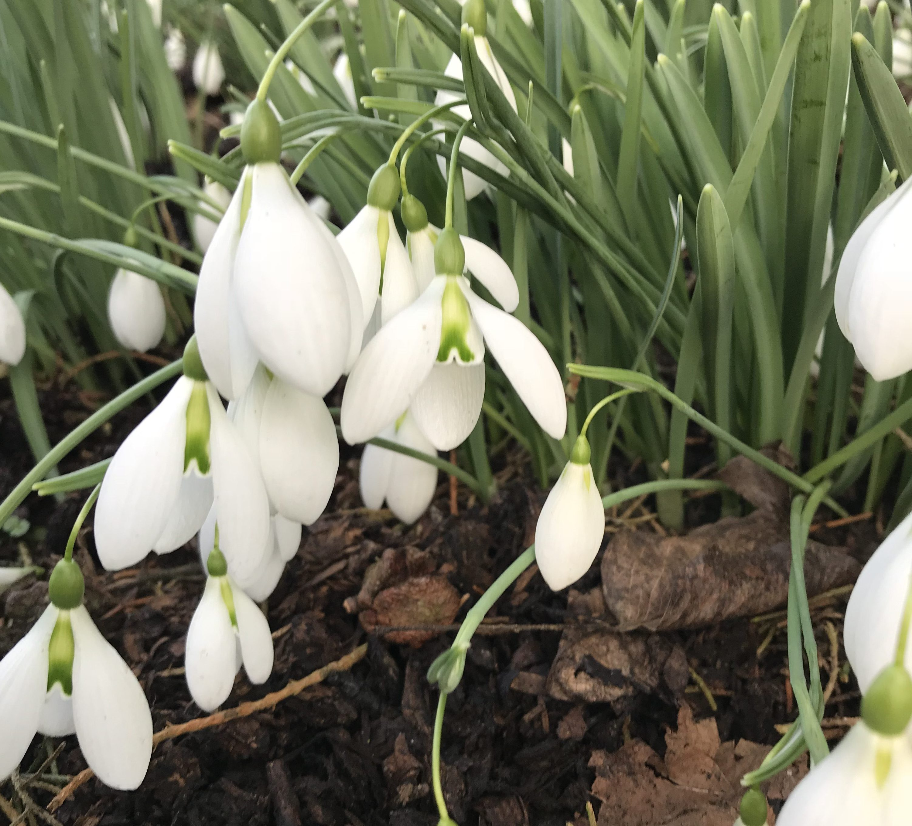 Snowdrops – heralding an approaching spring