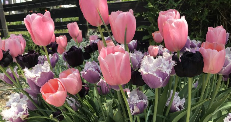 Dreaming of next spring — Bulb planting